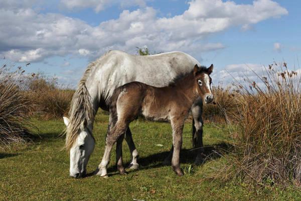 Wall Art - Photograph - Camargue Horse Foal With Mother by Adam Jones