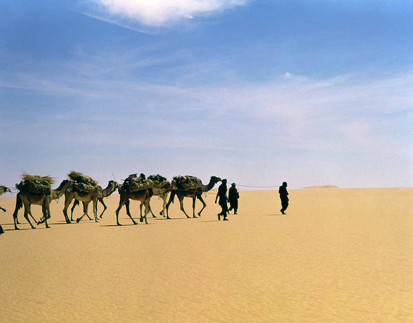 Dromedary Photograph - Camel Caravan In Western Tenere Desert by Tony Buxton/science Photo Library