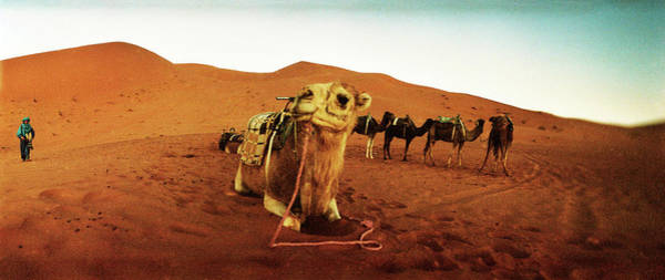 Berber Wall Art - Photograph - Camel In The Sahara Desert by Animal Images