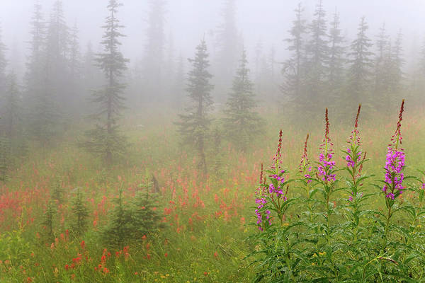 Fireweed Photograph - Canada, British Columbia, Revelstoke by Jaynes Gallery