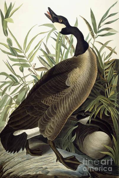 Wall Art - Painting - Canada Goose by John James Audubon