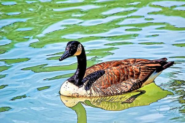 Photograph - Canada Goose by Ludwig Keck