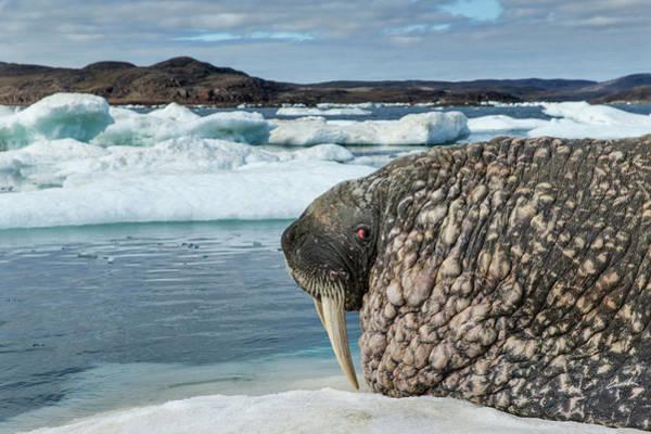 Warming Up Wall Art - Photograph - Canada, Nunavut Territory, Repulse Bay by Paul Souders