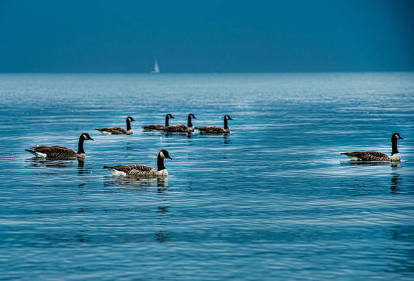 Photograph - Canadian Geese by Joseph Amaral