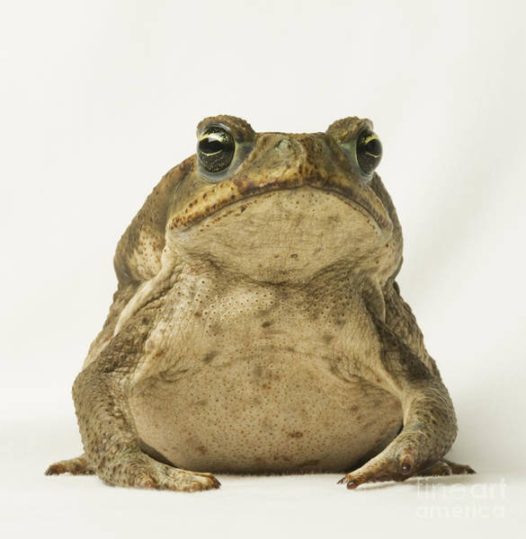 Photograph - Cane Toad by Dan Suzio
