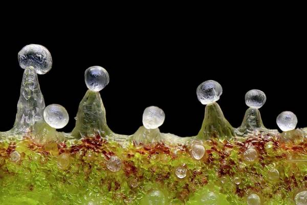 Wall Art - Photograph - Cannabis Trichomes by Antonio Romero