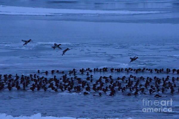 Photograph - Canvasback Ducks by Randy J Heath