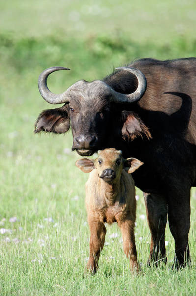 Syncerus Caffer Photograph - Cape Buffalo Syncerus Caffer by Animal Images