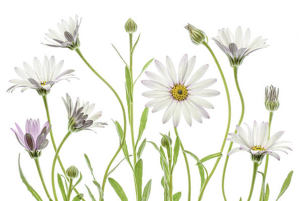 Daisy Flower Photograph - Cape Daisies by Mandy Disher