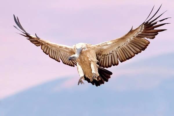 Cape Vulture In Flight Art Print