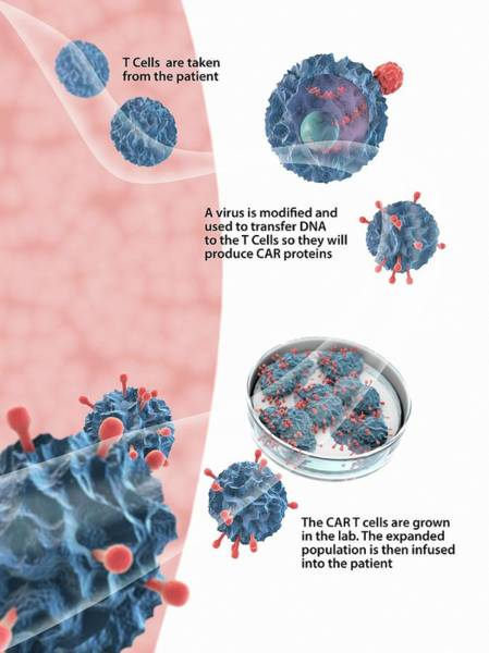 Biomedical Engineering Wall Art - Photograph - Car T Cell Cancer Immunotherapy by Gunilla Elam/science Photo Library