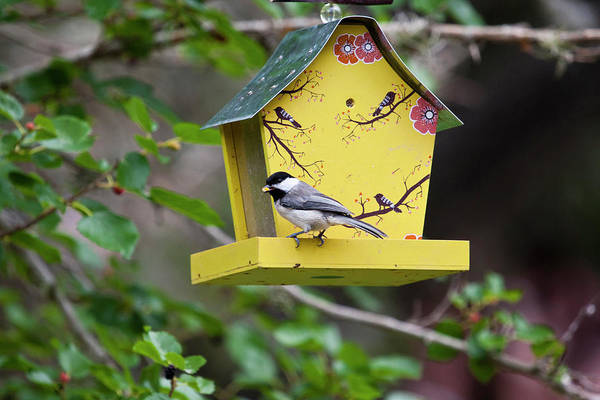 Chickadees Photograph - Carolina Chickadee (poecile Carolinensis by Larry Ditto