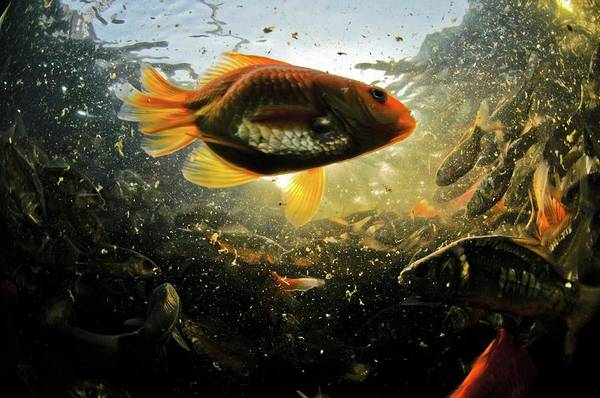 Carp Photograph - Carp Fishery by Photostock-israel/science Photo Library