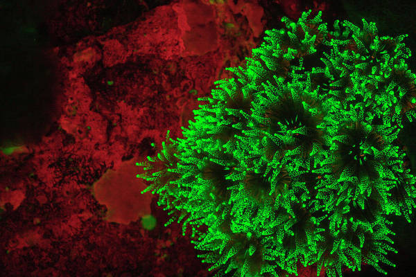 Wall Art - Photograph - Carpeting Cup Coral Fluorescing by Stuart Westmorland