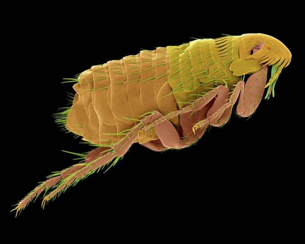 Pest Wall Art - Photograph - Cat Flea by Dennis Kunkel Microscopy/science Photo Library