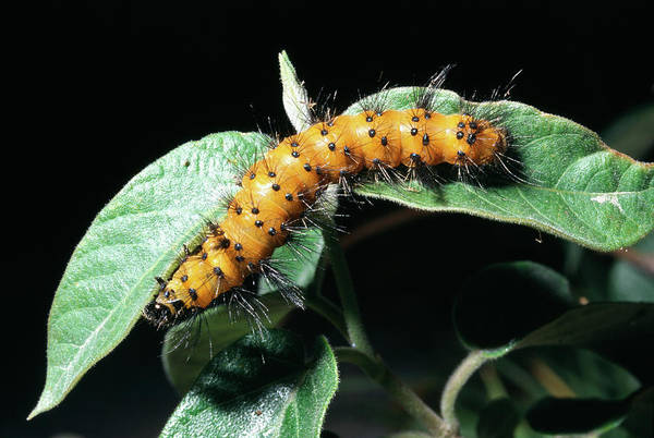 Larva Wall Art - Photograph - Caterpillar by Dr Morley Read/science Photo Library