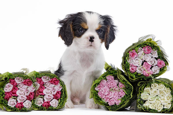 Photograph - Cavalier King Charles Spaniel Pup by Jean-Michel Labat