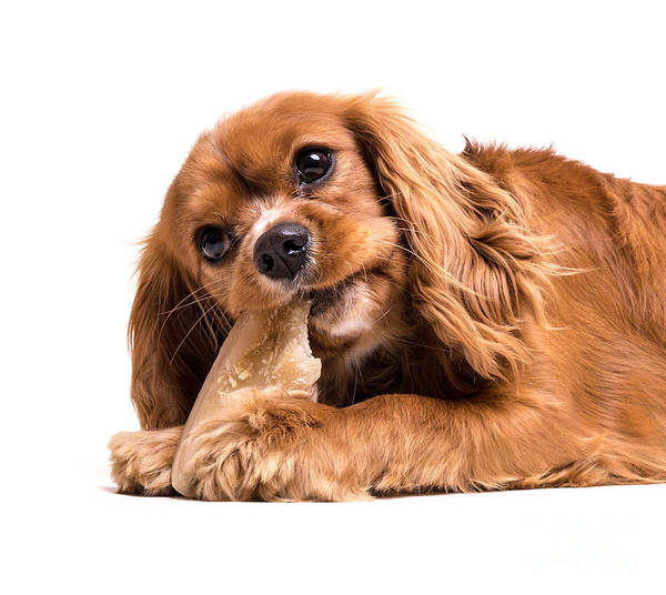 Chewing Photograph - Cavalier King Charles Spaniel Puppy by Edward Fielding