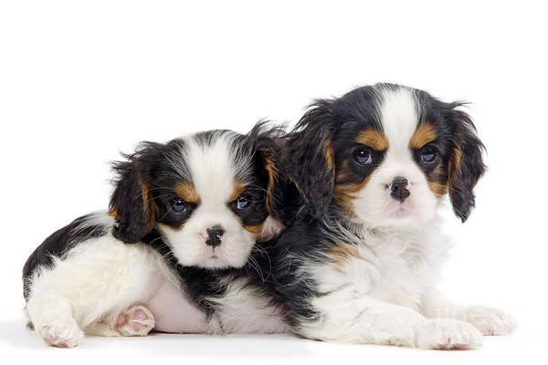 Photograph - Cavalier King Charles Spaniel Pups by Jean-Michel Labat