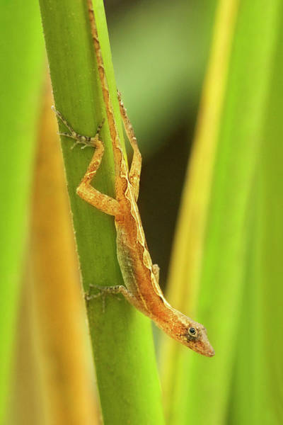 Green Anole Photograph - Central America, Costa Rica by Jaynes Gallery