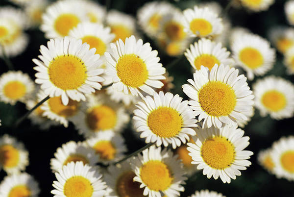 Wall Art - Photograph - Chamomile Flowers by Duncan Smith/science Photo Library
