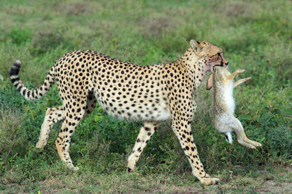 The Walking Dead Wall Art - Photograph - Cheetah Acinonyx Jubatus With African by Animal Images
