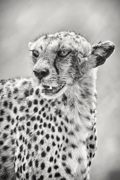 Big Boy Photograph - Cheetah by Adam Romanowicz
