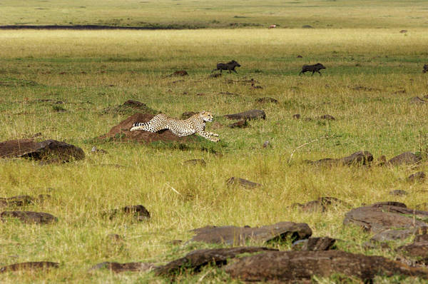 Wall Art - Photograph - Cheetah Hunting by Dr P. Marazzi/science Photo Library
