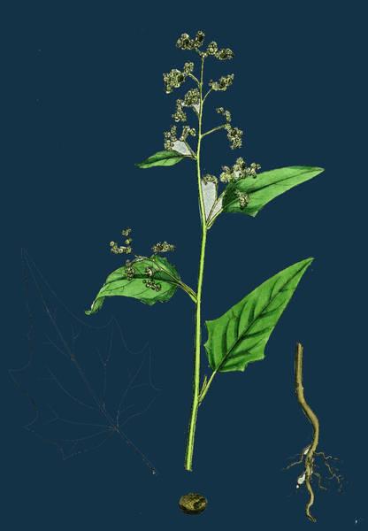 Maple Drawing - Chenopodium Hybridum Maple-leaved Goosefoot by English School