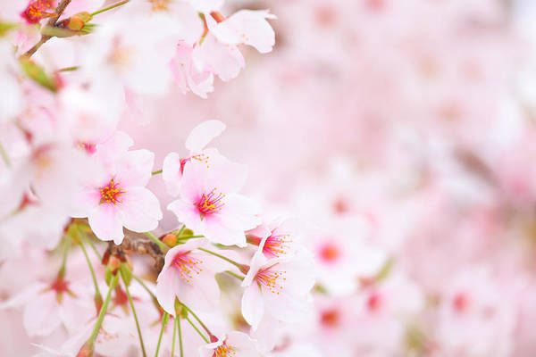 Season Photograph - Cherry Blossom by Ngkaki