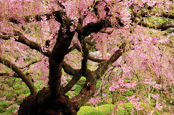 Canopy Photograph - Cherry Tree In Bloom, Portland Japanese by Michel Hersen