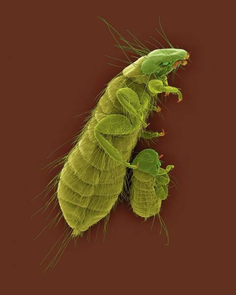 Chewing Wall Art - Photograph - Chicken Body Louse by Dennis Kunkel Microscopy/science Photo Library