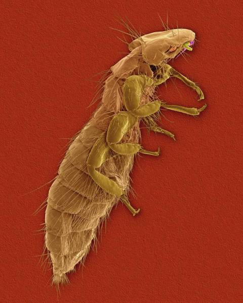 Chewing Wall Art - Photograph - Chicken Louse by Dennis Kunkel Microscopy/science Photo Library