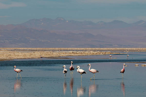 Salar De Atacama Photograph - Chilean Flamingo, (phoenicopterus by Sergio Pitamitz