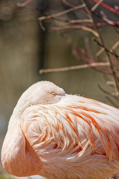 Photograph - Chilean Pink Flamingo by Peter Lakomy