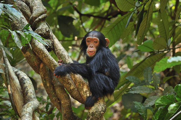 Gombe National Park Wall Art - Photograph - Chimpanzee Baby On Liana Gombe Stream by Thomas Marent