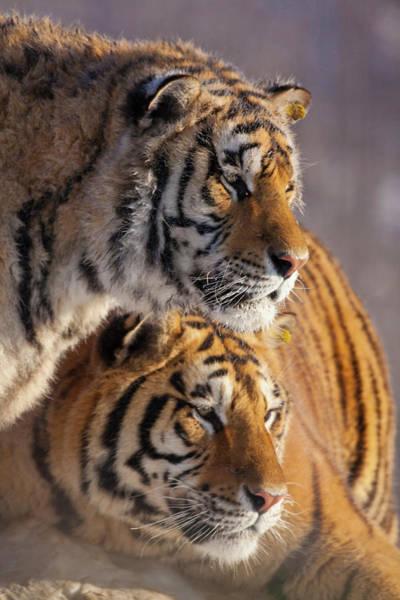 Wall Art - Photograph - China, Harbin, Siberian Tiger Park by Jaynes Gallery