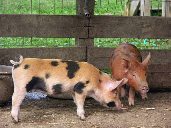 Pigpens Photograph - Chinapoll-tamworth Piglets by Bonnie Sue Rauch