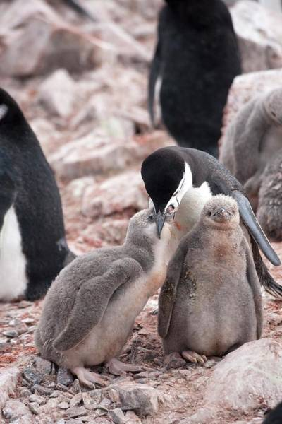 Wall Art - Photograph - Chinstrap Penguin And Chicks by Peter Menzel/science Photo Library