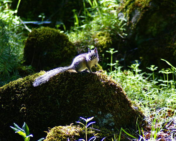 Photograph - Chipmunk In The Sun by Ben Upham III