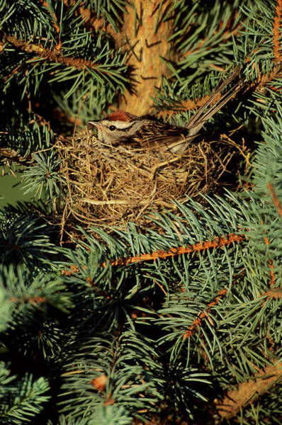 Spruce Photograph - Chipping Sparrow (spizella Passerina by Richard and Susan Day