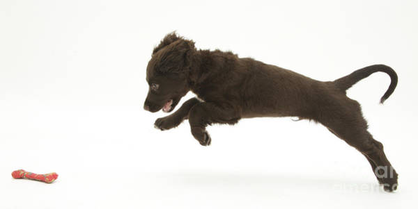Cocker Spaniel Photograph - Chocolate Cocker Spaniel Puppy by Mark Taylor