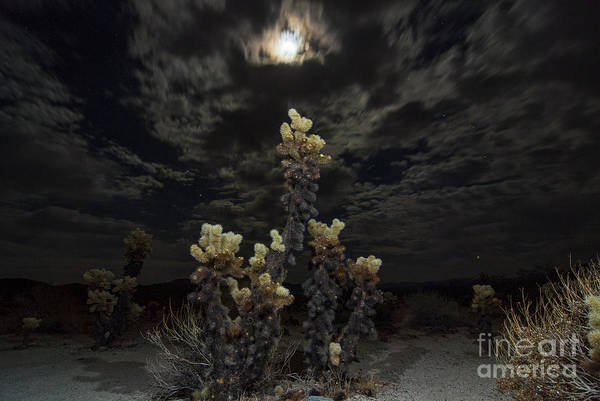 Cylindropuntia Bigelovii Photograph - Cholla Light - Joshua Tree National Park by Jamie Pham