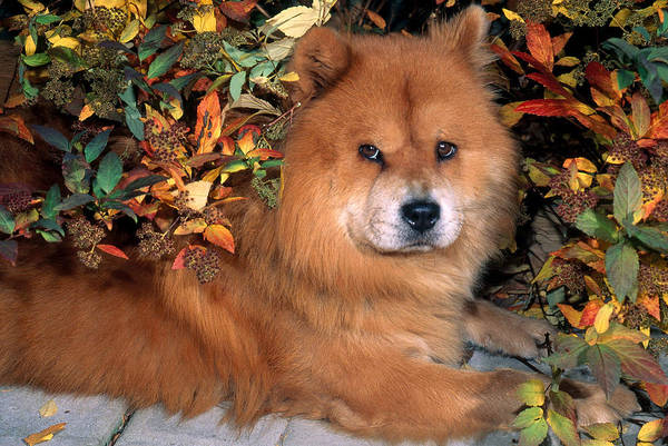 Wall Art - Photograph - Chow Chow by Jeanne White