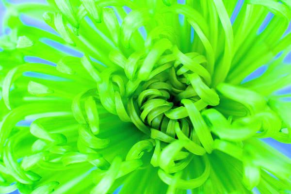 Wall Art - Photograph - Chrysanthemum 'shamrock' by Ian Hooton/science Photo Library