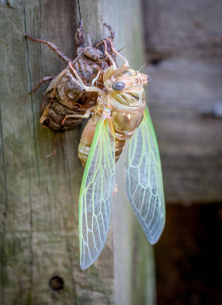 Photograph - Cicada Emerging by Andy Crawford
