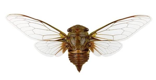 Cicada Wall Art - Photograph - Cicada by Pascal Goetgheluck/science Photo Library