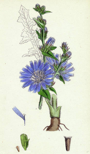 Cichorium Intybus Wild Succory Art Print