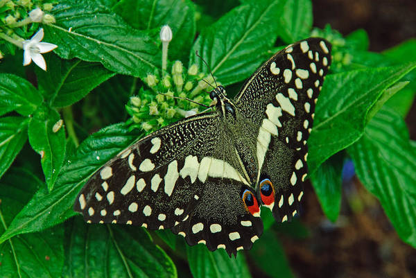 Photograph - Citrus Butterfly by Tam Ryan