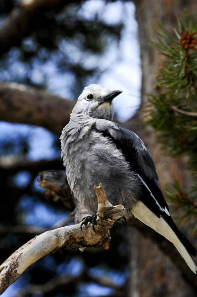 Photograph - Clark's Nutcracker by Don and Bonnie Fink